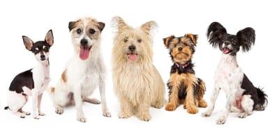 Kleine Hunderassen: Beliebte Langhaar- und Kurzhaar-Hunde