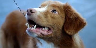 Cani rossi: quando il pelo conta