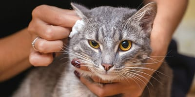 How to clean your cat's ears?
