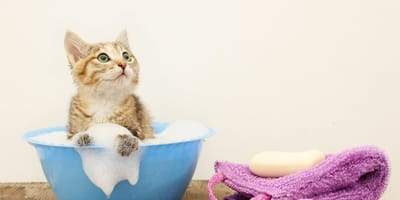 How to give a cat a bath?