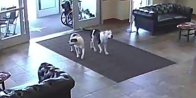 Zwei Pitbulls kommen ins Krankenhaus: Patienten fassungslos, als sie merken, wohin sie wollen!