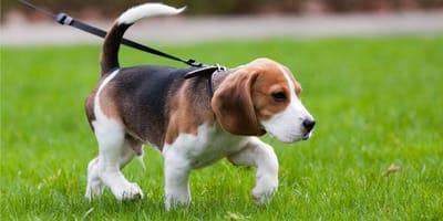 Jak nauczyć psa chodzić na smyczy, czyli spacer ze szczeniakiem