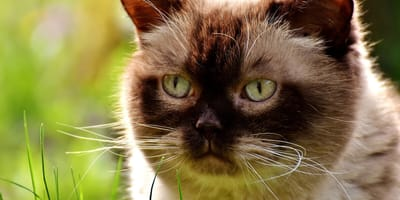 How to treat cat mange?
