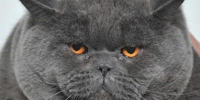 dieta para gatos gordos