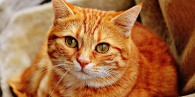 How to treat hyperthyroidism in cats
