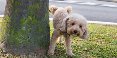 Siusiający pies