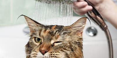 lavare il gatto