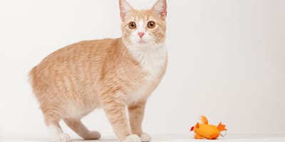 Ginger manx cat with no tail