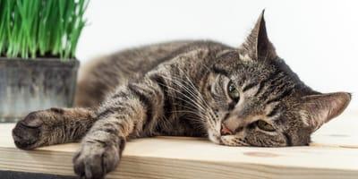 Fip u kota – jakie są objawy i jak leczyć zapalenie otrzewnej u kota?