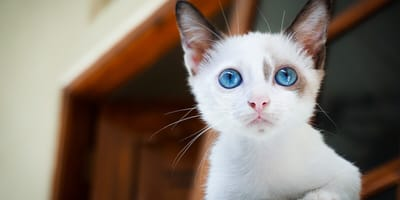 4 white cat with blue eyes