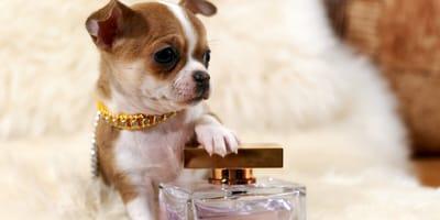 Perfumy dla psa