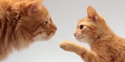 Jak obliczyć wiek kota? Sprawdź, ile lat ma kot w przeliczeniu na ludzkie lata