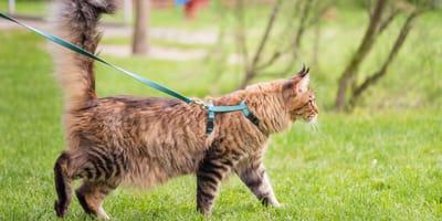 Jak wybrać szelki i smycz dla kota?