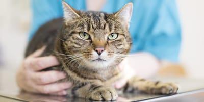Kastracja kota – kiedy dokonać zabiegu?