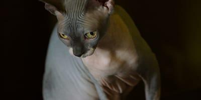 Gato esfinge: precio medio y características del minino sin pelo más famoso