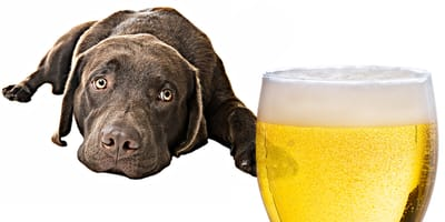 Piwo dla psa