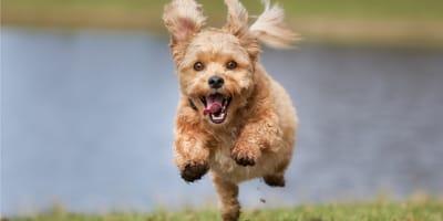 Kundel, czyli pies nierasowy.  5 powodów, dla których warto adoptować kundelka.
