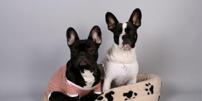 Małe psy krótkowłose do 10 kg – znajdź idealną rasę dla siebie!