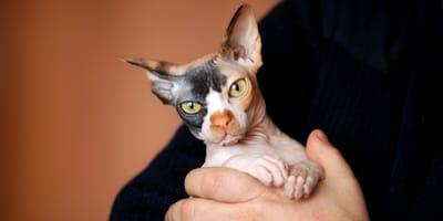 Koty dla alergików - jakie rasy kotów najmniej uczulają?