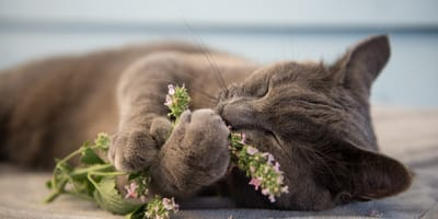 Kocimiętka – co to jest i jak działa na koty?