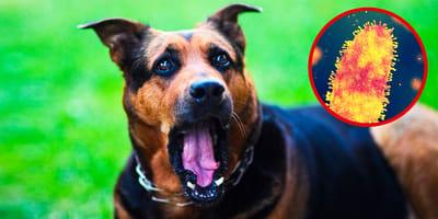 ängstlicher hund mit virus