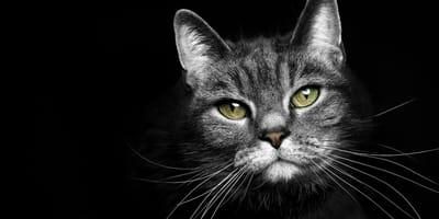 Wibrysy, czyli kocie wąsy – wszystko, co powinieneś o nich wiedzieć