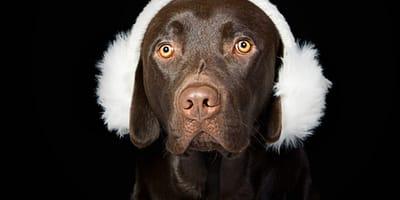Consejos del veterinario: 3 señales de que tu perro tiene una infección auditiva