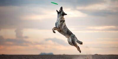 hund fängt frisbee in der luft