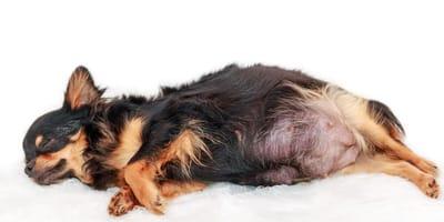 Ciąża urojona u psa – jakie są objawy i jak pomóc suczce?