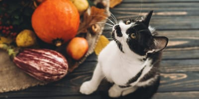 Can cats eat vegan food?