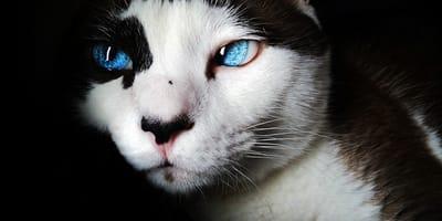 ¿Qué es el tercer párpado de los gatos? ¿Es normal verlo?