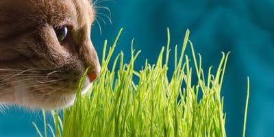 Trawa dla kota – wszystko, co trzeba o niej wiedzieć