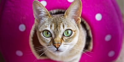 Koty miniaturki - najpopularniejsze rasy małych kotów