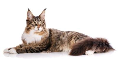 najwieksze koty domowe
