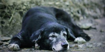 alter schwarzer hund liegt müde auf dem boden