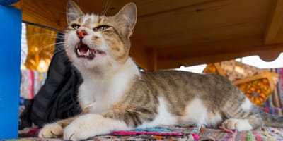 Why do cats howl after they poop?