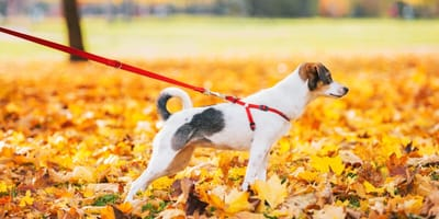 Leinenführigkeit trainieren bei Hunden und Welpen
