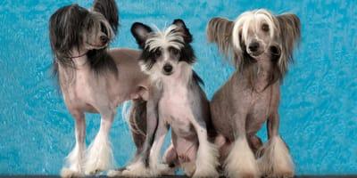chinskie rasy psow