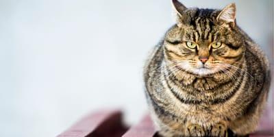 Gruby kot – jak poradzić sobie z nadwagą u kota?