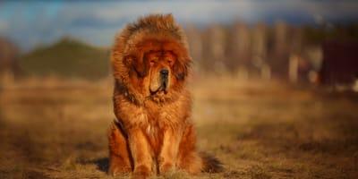 Mastif tybetański, czyli pies jak lew. Pochodzenie i charakterystyka rasy