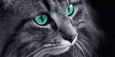 Dunkle Katze mit türkisfarbenen Augen