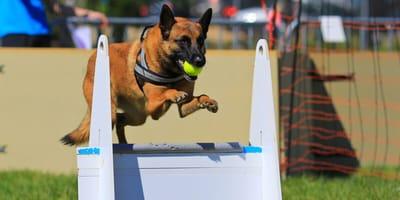 Belgischer schäferhund fängt Ball und springt