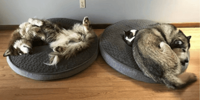 Two huskies and one tiny cat sleeping
