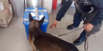 Polizeihund schnüffelt an blauer Box: Er findet etwas, das trauriger nicht sein könnte