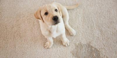 Jak oduczyć psa sikania w domu? 5 kroków do skutecznej nauki czystości!
