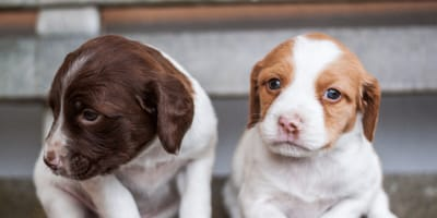 White and brown puppies