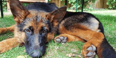 Brown and black German Shepherd