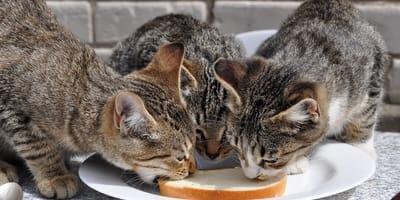 Dlaczego koty liżą masło i czy mogą to robić?
