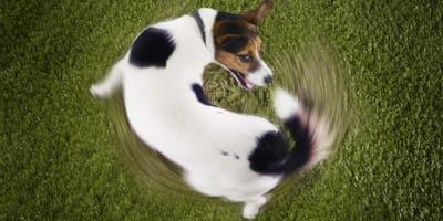Pies goniący własny ogon