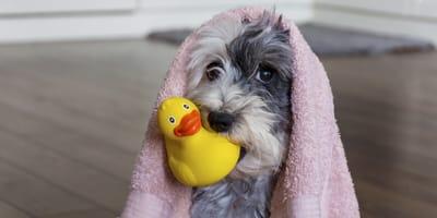 Jak przygotować szczeniaka do pierwszej kąpieli?